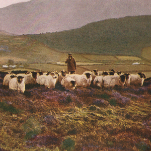 A shepherd tends his flock on the Mournes