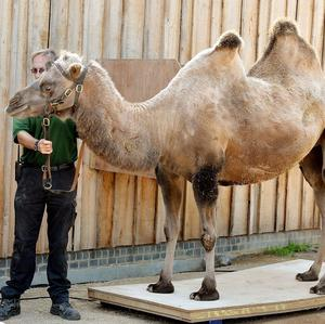 Noemie the camel stands on the scales during the annual weigh-in at London Zoo