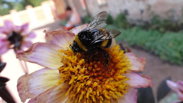 The bees surprised scientists by working out how to use a novel tool to obtain a food reward simply by watching other bees