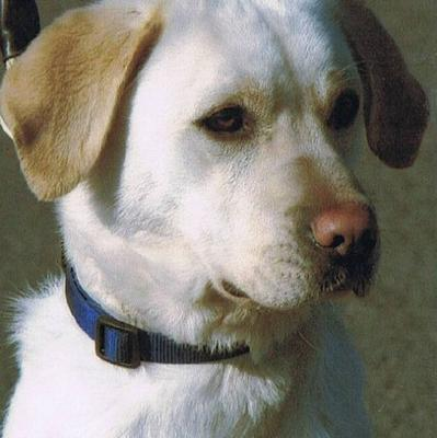 Sasha, a four-year-old yellow Labrador, will be honoured with the PDSA's Dickin Medal (PDSA/PA)