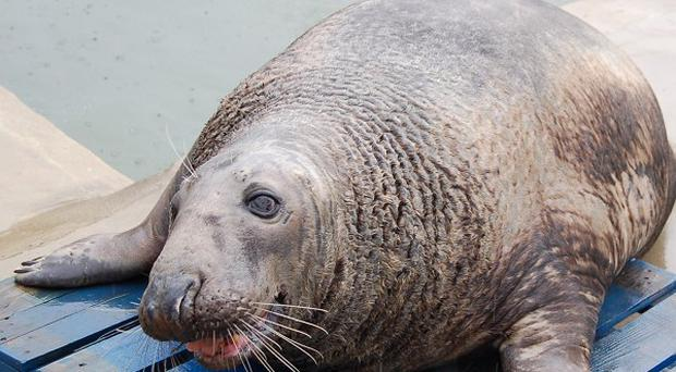 Keepers admitted giving in to Yule Log's big pleading eyes, meaning the grey seal's weight ballooned (Cornish Seal Sanctuary/PA)