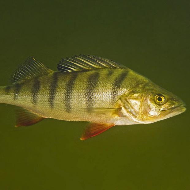 Sleeping pills may be disturbing river ecosystems by turning fish into greedy, risk-taking loners, say researchers