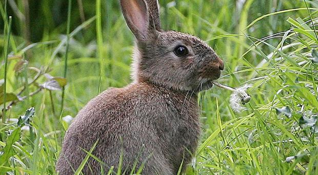 At least 100 bunnies a month are being removed from Denver International Airport in a bid to stop damage to parked cars