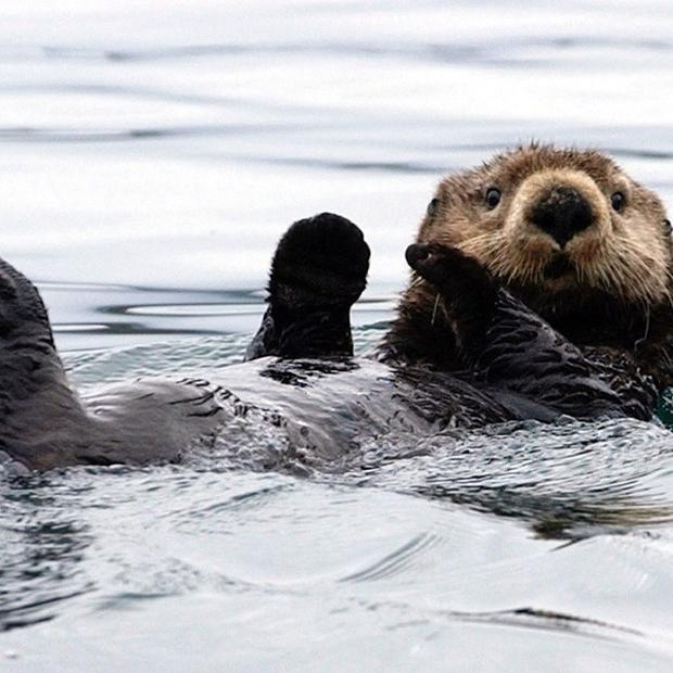 An Alaska state senator has called for a bounty on sea otters as he considers them as a threat to fishing beds and the crab harvest (AP Photo/Laura Rauch, File)