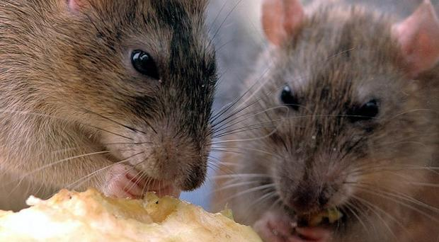 Scientists have demonstrated a form of mind control by linking the brains of two rats thousands of miles apart