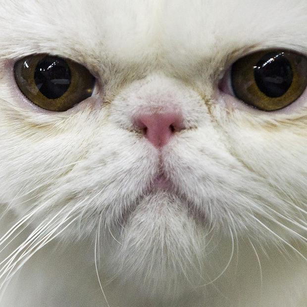 A Persian cat travelled from Egypt to the UK after sneaking into its owner's suitcase (AP)