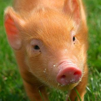 A tiny school in Suffolk has fallen foul of animal rights activists after it launched a pig rearing scheme