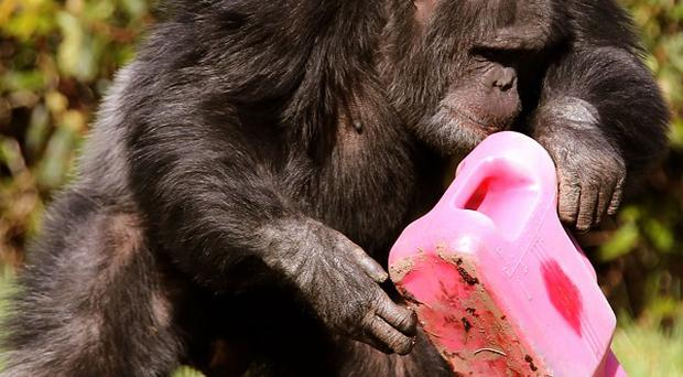 Chippie, doing some watering, is among a group of chimpanzees welcoming the start of spring with their very own herb garden