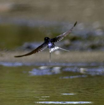 Research in the US has shown that natural selection has favoured swallows with shorter wings that can get out of the way of cars more quickly