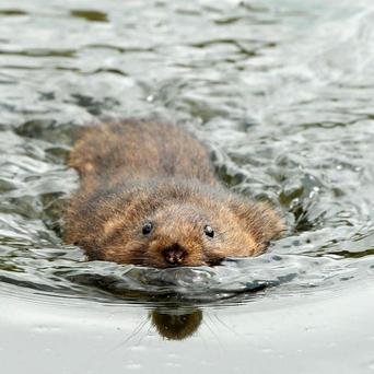 Water voles have seen numbers decline by more than 90 per cent in the past few decades