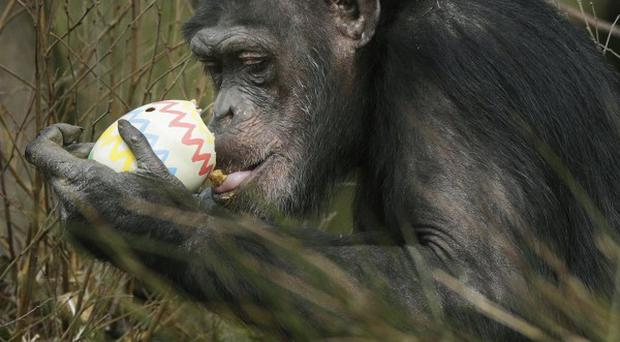 A chimpanzee with an Easter egg at Blair Drummond Safari Park in Stirling