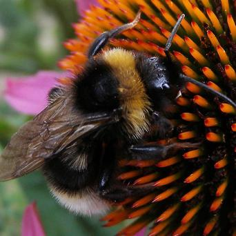 Bumblebees may visit thousands of flowers every day in their search for nectar