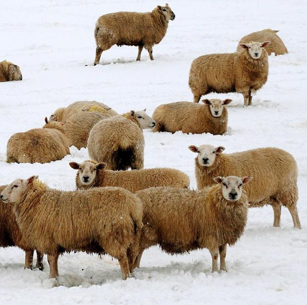 Police received more than 40 reports of concern from members of the public after a flock of sheep were left to roam free