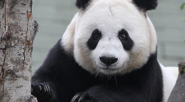 Tian Tian was artificially inseminated last week