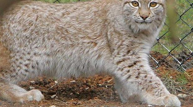 A lynx, like this one at Whipsnade Zoo, lived feral in Devon until it was shot in 1900