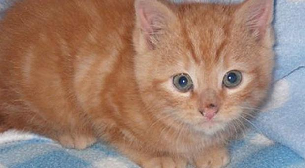 The fire service were called to a house and cut a hole in a cavity wall, finding Macavity the kitten inside