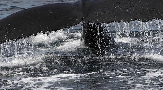 Lobtail feeding caught on among humpback whales in the Gulf of Maine, despite it not being used elsewhere