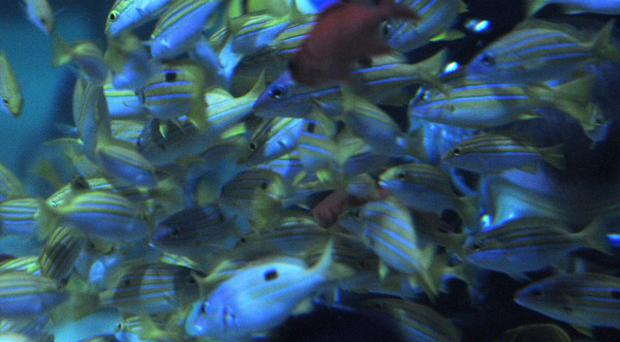 The hunt is on for a rare tropical fish that is on the verge of becoming extinct