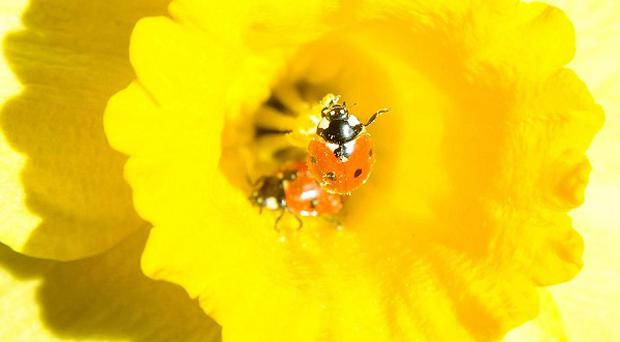 A new mobile phone app will help people monitor harlequin ladybird numbers