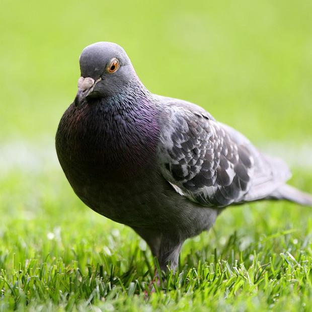 A number of panicked Russians have contacted the authorities to report concerns over the bizarre behaviour of pigeons in Moscow