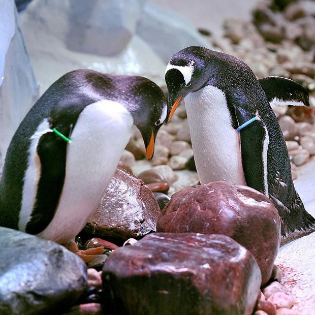 A pair Gentoo penguins are hoping to hear the flapping of tiny wings at London Aquarium in June