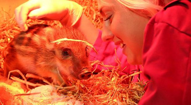 Jo Shirley, a keeper at Whipsnade Zoo in Bedfordshire, alongside wild boar piglets