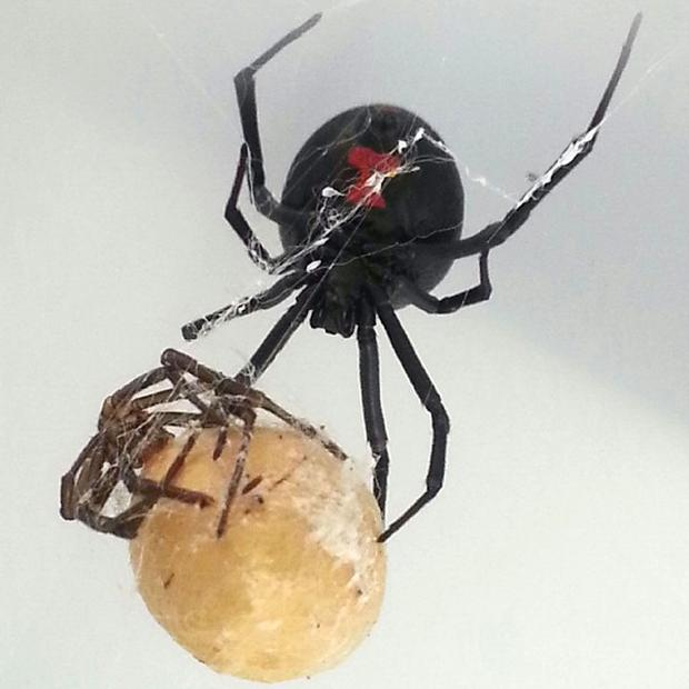 Black widows' venom causes cramps and fever but their bites are rarely fatal (SPCA/PA)