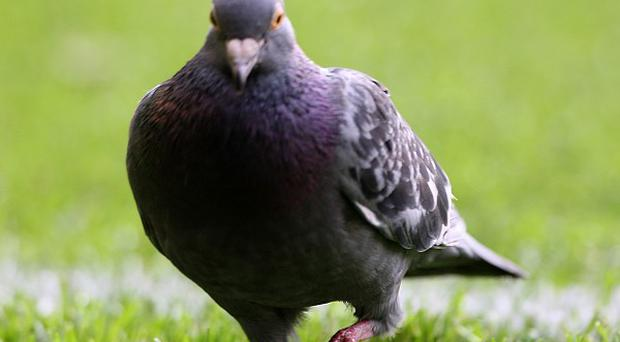 Feeding pigeons in Daventry town centre could land people with a fine, the district council says
