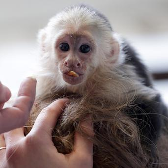 Justin Bieber's pet monkey Mally was seized by German customs two months ago (AP)