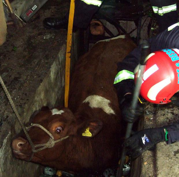 A cow is rescued after spending 24 hours wedged in a car inspection pit (Devon and Somerset Fire and Rescue/PA Wire)