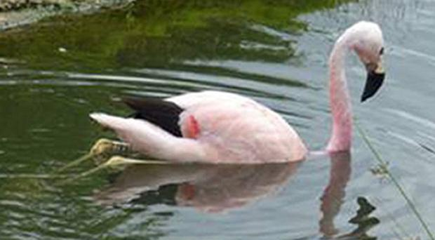 An Andean flamingo has been observed floating in water, rather than standing on one leg, in a bid to cool down