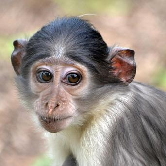 Achimoto, one of two new female mangabey monkeys that have arrived at London Zoo