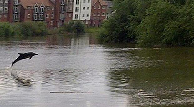 The dolphin that has been spotted in the River Dee (Environment Agency)