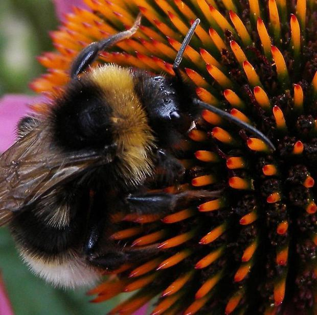 Hungry bumblebees travel more than a mile to find food, a study has found