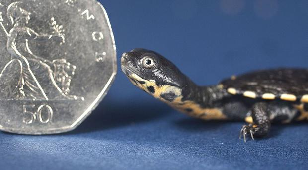 A week-old Roti Island Snake Necked Turtle at the National Sea Life Centre in Birmingham. (Issued by the National Sea Life Centre.)
