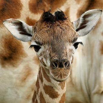 A giraffe has given birth to her 18th calf at a safari park in South Korea