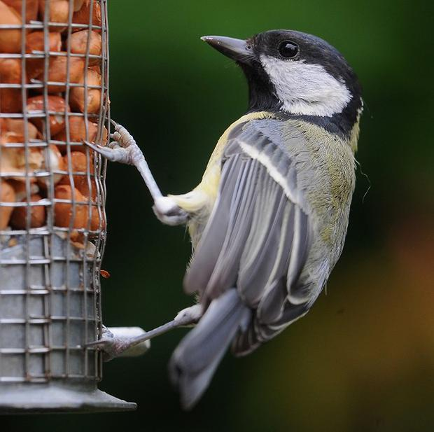 Researchers have studied the social habits of garden birds such as great tits