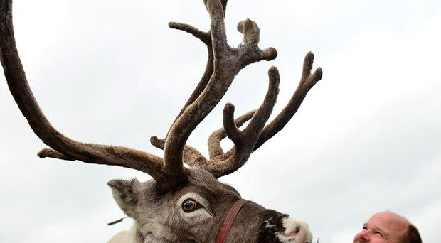 George Richardson, 42, with reindeer Pancake, will be driving 3,000 miles to the Arctic Circle and back to boost his herd in the run-up to Christmas.