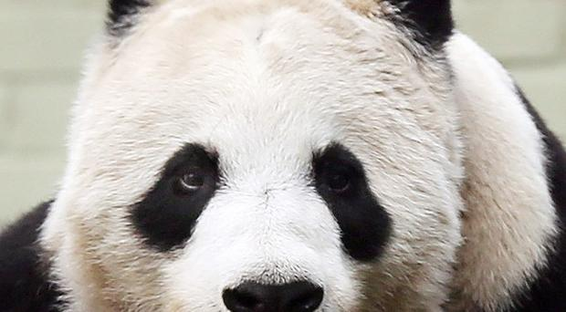 Tian Tian, one of Edinburgh Zoo's giant pandas, is said to be still acting as if she is pregnant