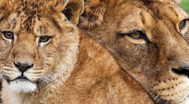Teekay, pictured with daughter Libby, has given birth to another cub at Blair Drummond Safari Park
