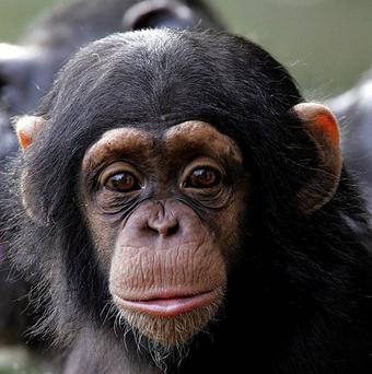 Chimpanzees show a desire to communicate with robots, scientists say.