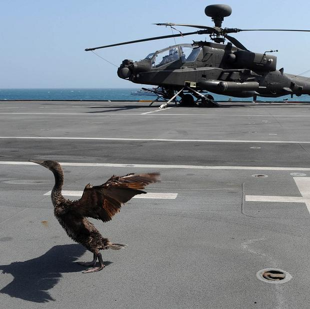 A socotra cormorant landed on the flight deck of the Royal Navy's helicopter carrier HMS Illustrious as it was patrolling the Gulf as part of a major training exercise (MoD/PA)