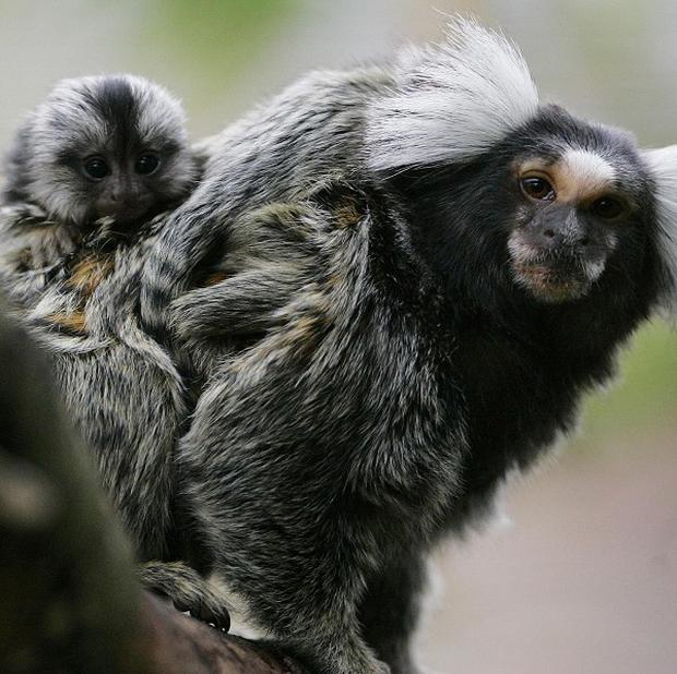 Marmosets, like humans, follow the rules of polite conversation, a study has revealed