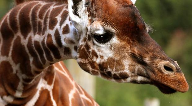 Zookeepers at ZSL Whipsnade Zoo are preparing to throw a housewarming party for the giraffes