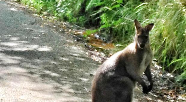 A wallaby on the loose in north London has been caught