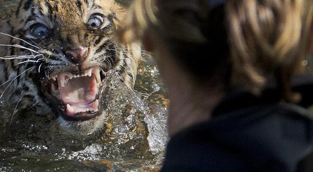 Sumatran tiger cub Bandar shows his displeasure after being dunked in the tiger exhibit moat for a swim at a Washington Zoo (AP)