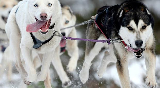 A missing husky puppy - similar to these full-grown dogs - has been returned after a Facebook appeal described the apparent thief as 'scruffy'