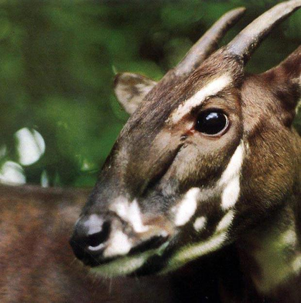 A soala, one of the world's rarest and most threatened mammals on earth, pictured in 1993 (AP/WWF)