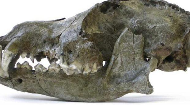 The skull of a 26,000-year-old Ice Age wolf from the Trou des Nutons cave in Belgium (Royal Belgian Institute of Natural Sciences/PA)