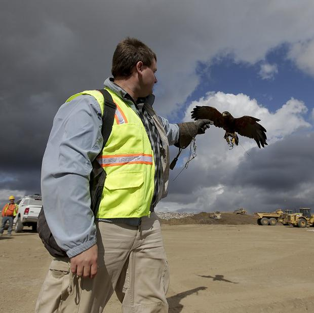 Daniel Hedin works his Harris hawk at the Olinda Alpha landfill in California (AP)